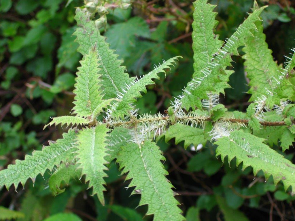Ongaonga, native nettle Urtica ferox