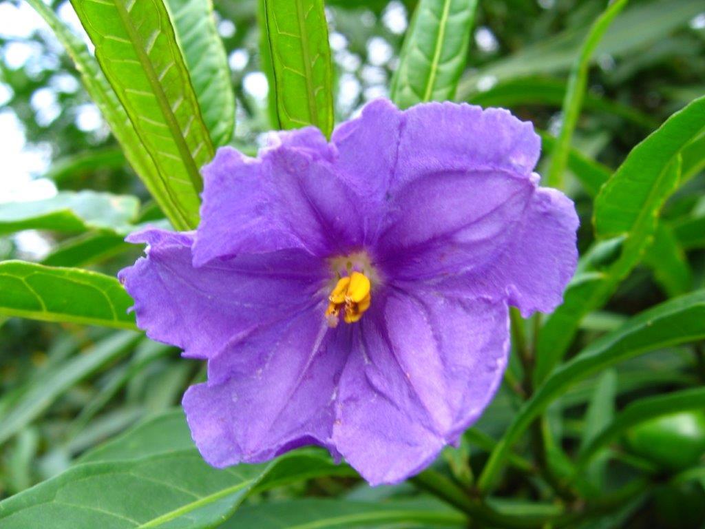 Spectacular blooms, Poroporo, Solanum aviculare