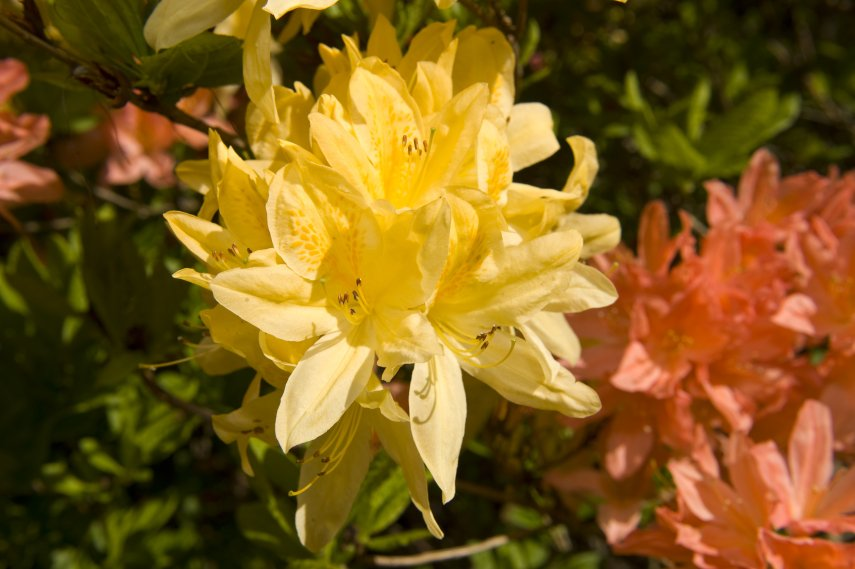 'Rhododendrons
