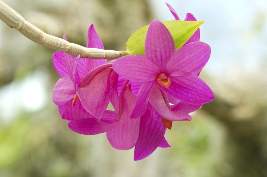 'Orchid species
