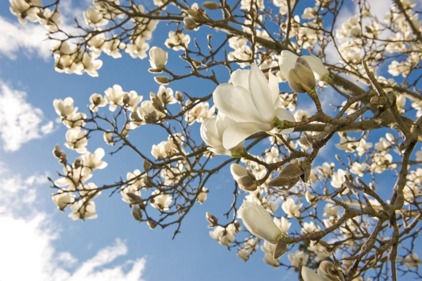 'Magnolia