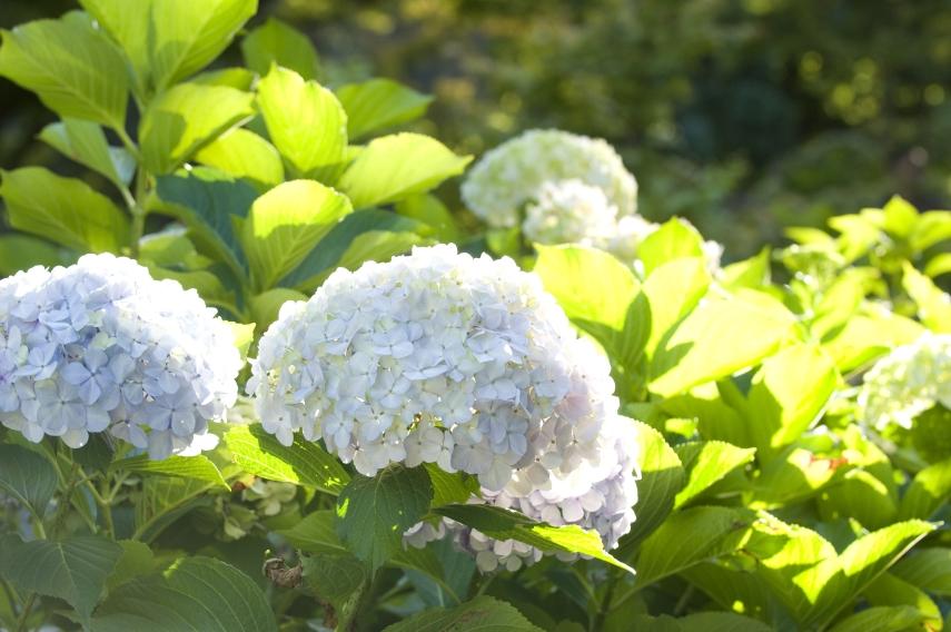 'Hydrangeas